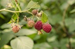 在灌木的成熟红草莓 库存图片