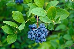在灌木的成熟蓝莓 图库摄影