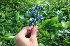 在灌木的成熟蓝莓 库存照片