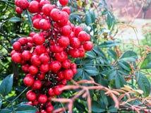 在灌木的成熟蔓越桔 免版税图库摄影