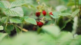 在灌木的成熟野草莓 股票录像