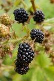 在灌木的成熟黑莓 库存图片