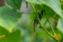 在灌木的新鲜的绿色黄瓜 免版税库存照片