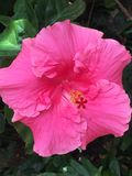 在灌木的明亮的桃红色木槿在庭院设置的阳光下 免版税图库摄影