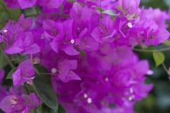 在灌木的明亮的桃红色花 库存图片