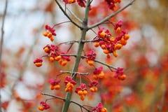 在灌木的明亮的莓果在莫斯科在11月停放 免版税库存照片