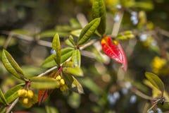在灌木的春天红色和绿色叶子 免版税库存图片