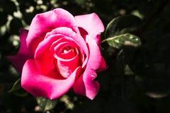 在灌木的桃红色玫瑰在公园 免版税库存照片