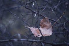 在灌木的死的叶子 免版税库存照片