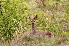 在灌木的狍母鹿 免版税库存图片