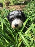 在灌木的狗 库存照片
