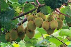 在灌木的猕猴桃 库存图片