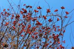 在灌木的玫瑰果莓果在阳光下 免版税库存图片