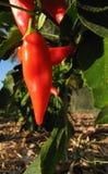 在灌木的甜意大利红辣椒在庭院里 免版税库存照片