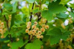 在灌木的白色无核小葡萄干莓果 库存照片