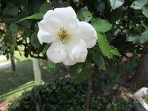 在灌木的白色玫瑰 图库摄影