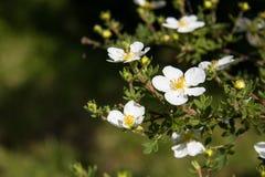 在灌木的白花有bokeh背景,宏指令,选择聚焦 图库摄影
