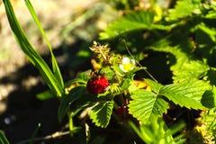 在灌木的红色草莓在庭院里 免版税库存图片