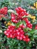 在灌木的红色莓果 免版税库存图片