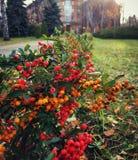 在灌木的红色莓果 免版税图库摄影