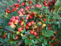 在灌木的红色莓果 库存照片