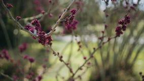 在灌木的绯红色芽在春天 股票视频