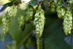 在灌木的绿色新鲜的啤酒花球果树 免版税库存照片