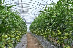 在灌木的绿色蕃茄自聚碳酸酯纤维温室 免版税图库摄影