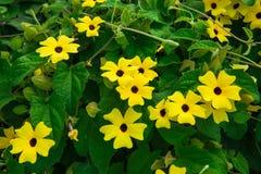 在灌木的美丽的花 显著地美丽的植物 黄色花黑眼睛的苏珊 库存照片