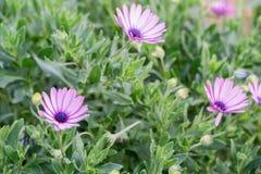 在灌木的美丽的紫色花在冬天在希腊 库存照片