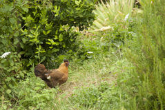 在灌木的自由放养的鸡 免版税库存图片
