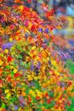 在灌木的色的叶子 库存照片