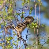 在灌木的花栗鼠 免版税库存照片