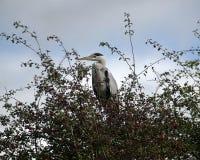 在灌木的苍鹭 图库摄影
