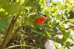 在灌木的草莓 免版税库存图片