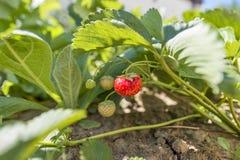 在灌木的草莓 库存照片