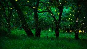 在灌木的萤火虫在Prachinburi省,泰国的晚上 库存照片