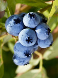 在灌木的蓝莓。 库存照片