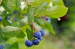 在灌木的蓝莓与雨珠 免版税图库摄影