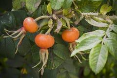 在灌木的鄙人玫瑰色莓果 免版税库存照片