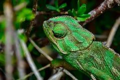 在灌木的野生地中海或共同的变色蜥蜴 免版税库存照片
