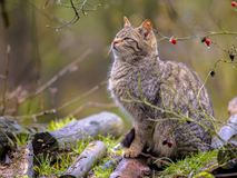 在灌木的野生猫 库存图片