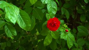 在灌木的野生红色玫瑰 股票录像