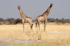 在灌木的长颈鹿。 免版税库存图片