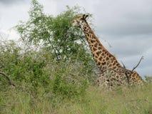 在灌木的长颈鹿 库存照片