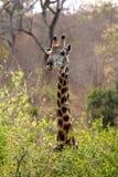 在灌木的长颈鹿 库存图片