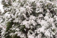 在灌木的雪 库存图片