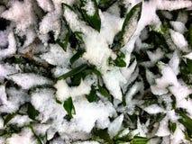 在灌木的雪 库存照片