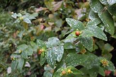 在灌木的露水离开与黄色花在秋天在威克洛,爱尔兰 库存图片