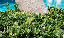 在灌木的鬣鳞蜥 免版税库存照片